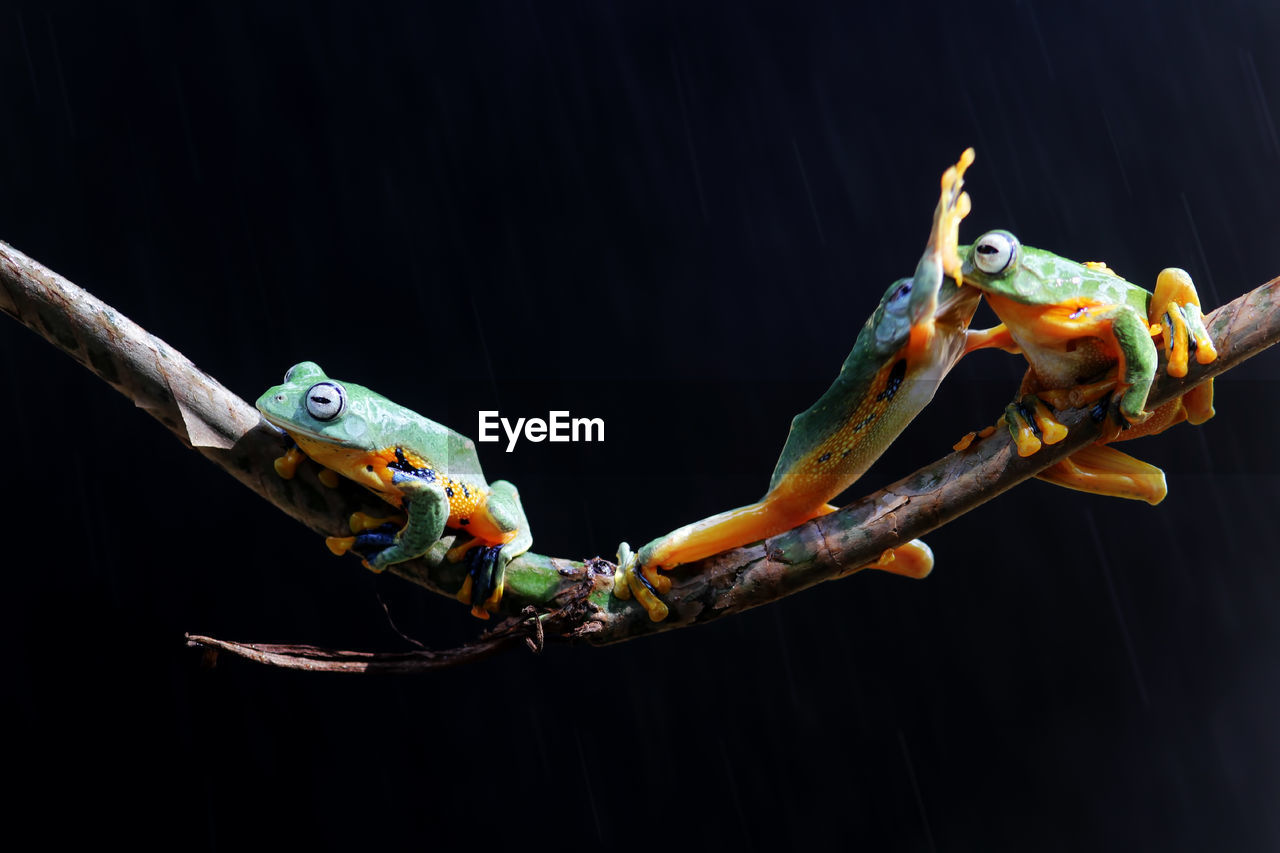 animal, animal wildlife, animal themes, animals in the wild, close-up, no people, one animal, black background, vertebrate, nature, studio shot, indoors, focus on foreground, branch, reptile, insect, wood - material