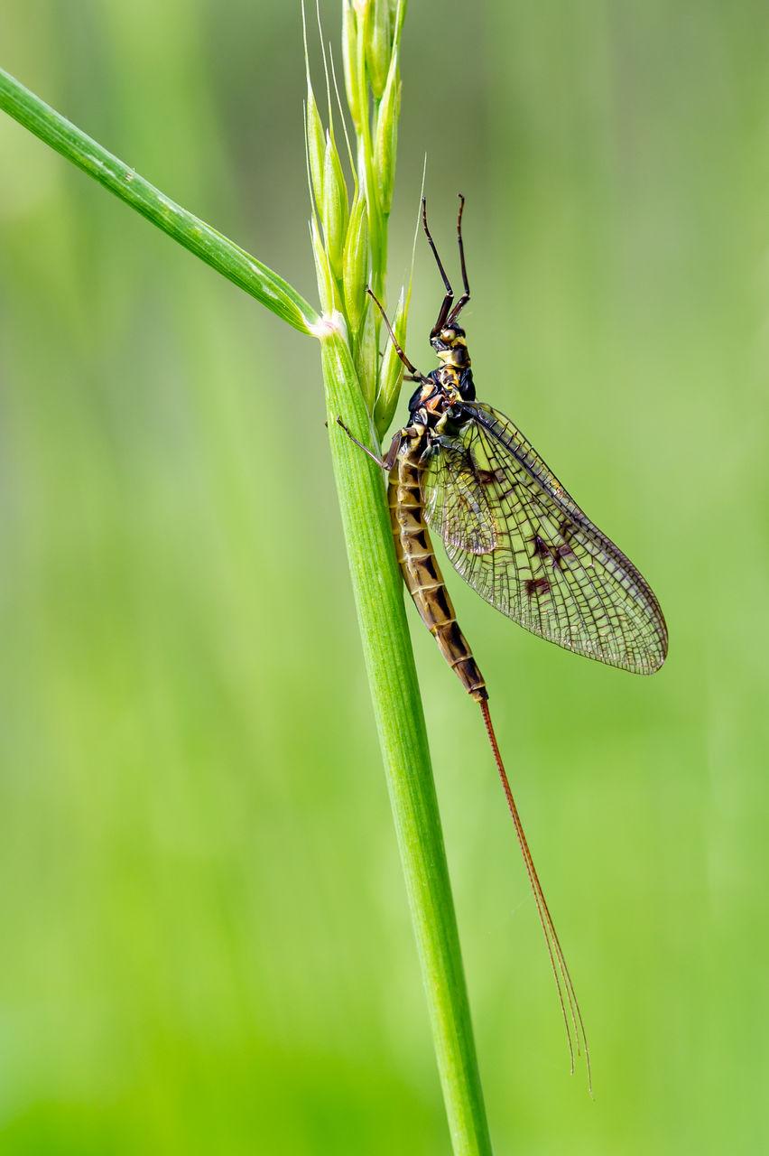 Adult mayfly, ephemera danica, resting on a blade of grass