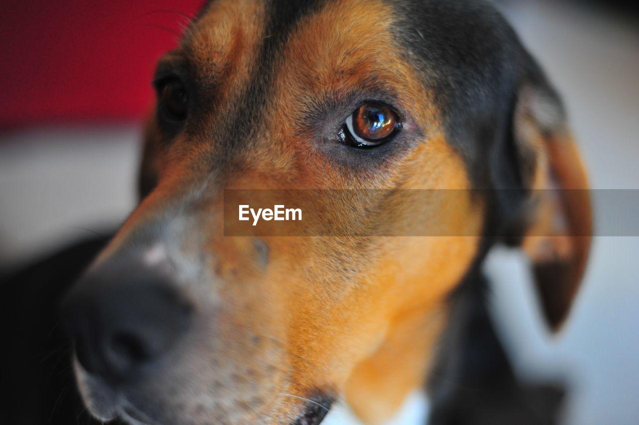 dog, close-up, one animal, pets, domestic animals, animal themes, mammal, animal head, no people, day, portrait, indoors