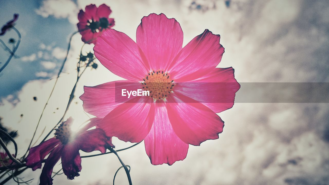 flower, petal, nature, beauty in nature, fragility, flower head, pink color, freshness, growth, close-up, plant, outdoors, no people, day, blooming, sky, cosmos flower