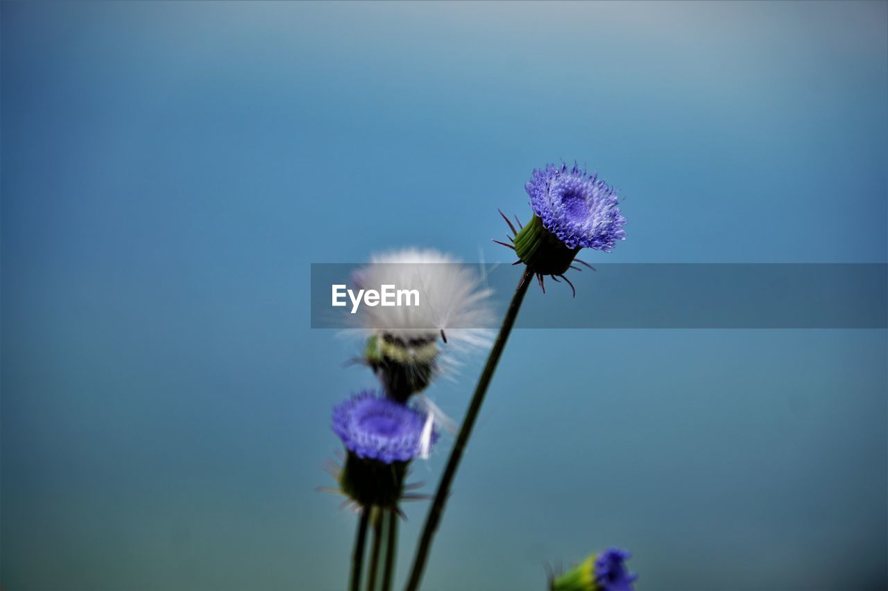 flower, fragility, purple, flower head, beauty in nature, nature, petal, growth, freshness, plant, close-up, focus on foreground, blooming, thistle, no people, blue, day, outdoors, pollination, buzzing, animal themes