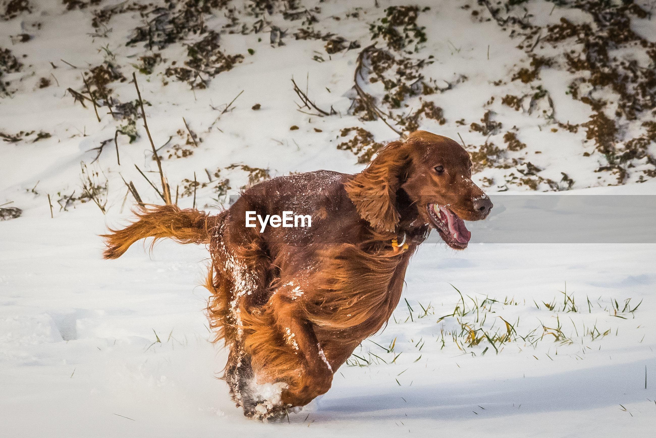 Dog running on snowed landscape