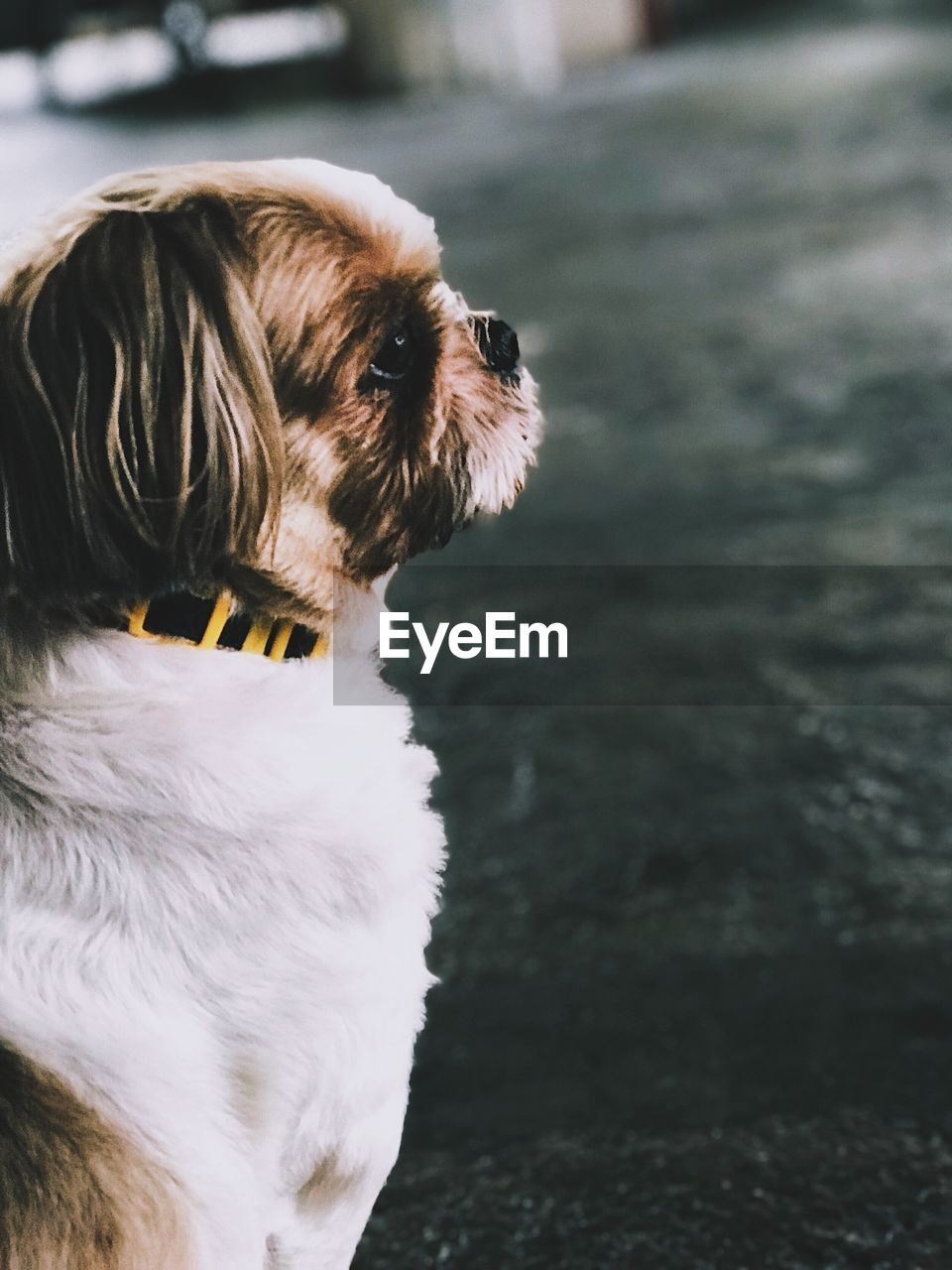 one animal, animal themes, pets, animal, domestic, mammal, domestic animals, canine, dog, vertebrate, looking, looking away, no people, focus on foreground, lap dog, animal body part, close-up, day, animal head, outdoors, small, shih tzu