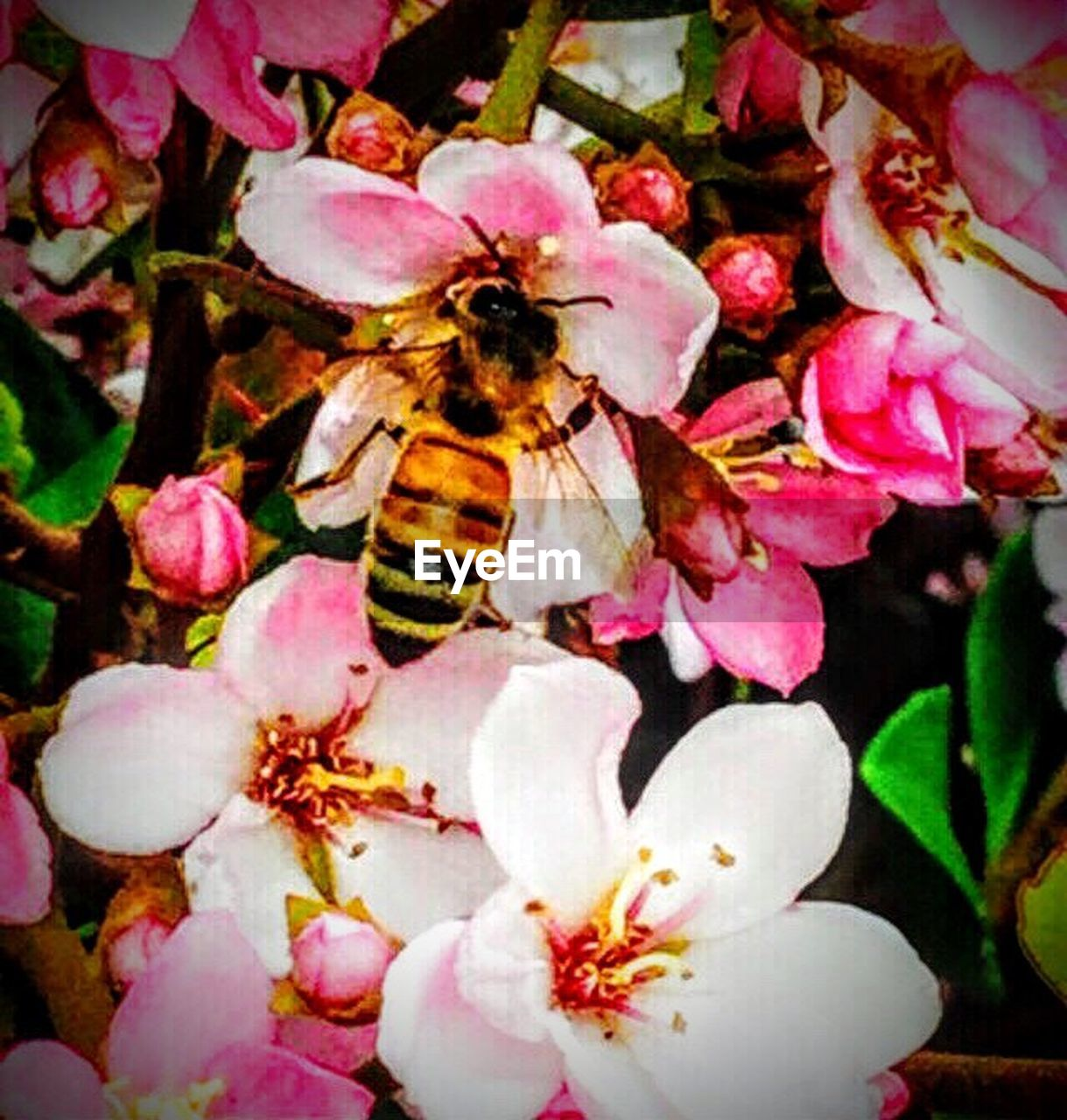 flower, insect, one animal, bee, animals in the wild, animal themes, petal, pink color, no people, growth, nature, fragility, outdoors, honey bee, beauty in nature, day, freshness, pollination, flower head, animal wildlife, plant, close-up, springtime, bumblebee, buzzing