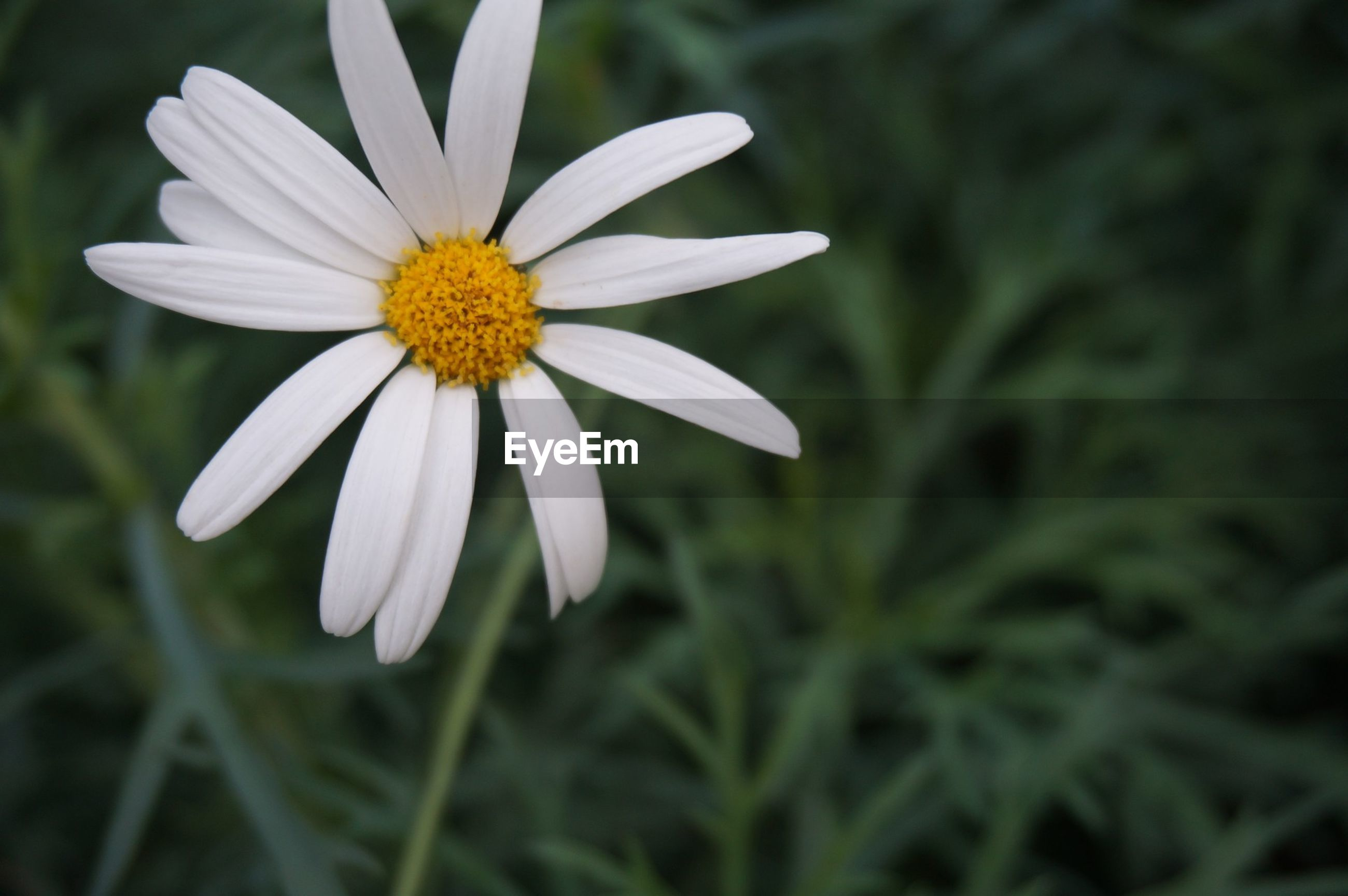 flower, freshness, petal, fragility, flower head, growth, beauty in nature, close-up, white color, pollen, blooming, daisy, nature, focus on foreground, plant, single flower, yellow, in bloom, selective focus, outdoors