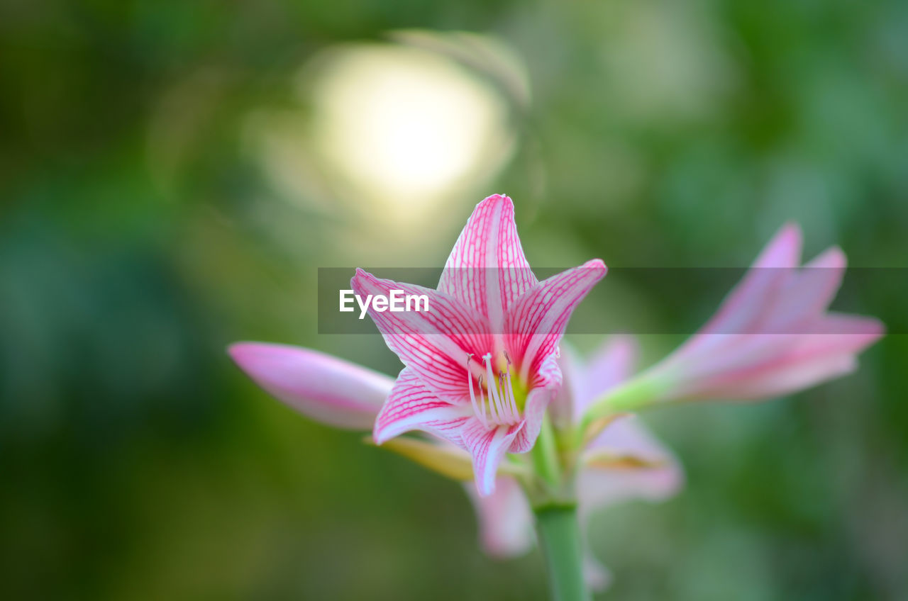 flowering plant, flower, fragility, vulnerability, freshness, beauty in nature, petal, plant, growth, close-up, flower head, inflorescence, pink color, no people, selective focus, focus on foreground, day, nature, botany, outdoors, pollen, purple, sepal