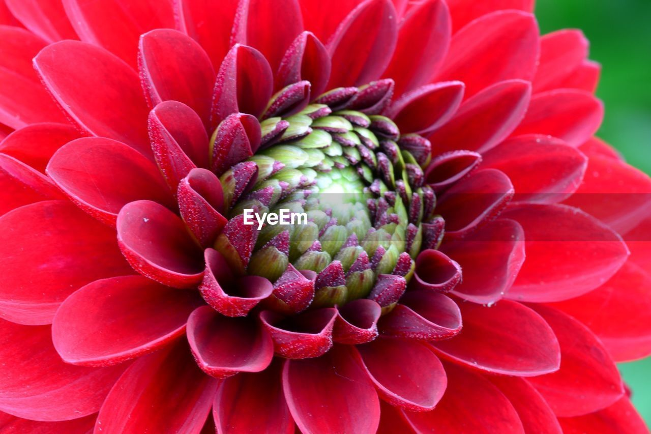 Close-Up Of Red Chrysanthemum Blooming Outdoors
