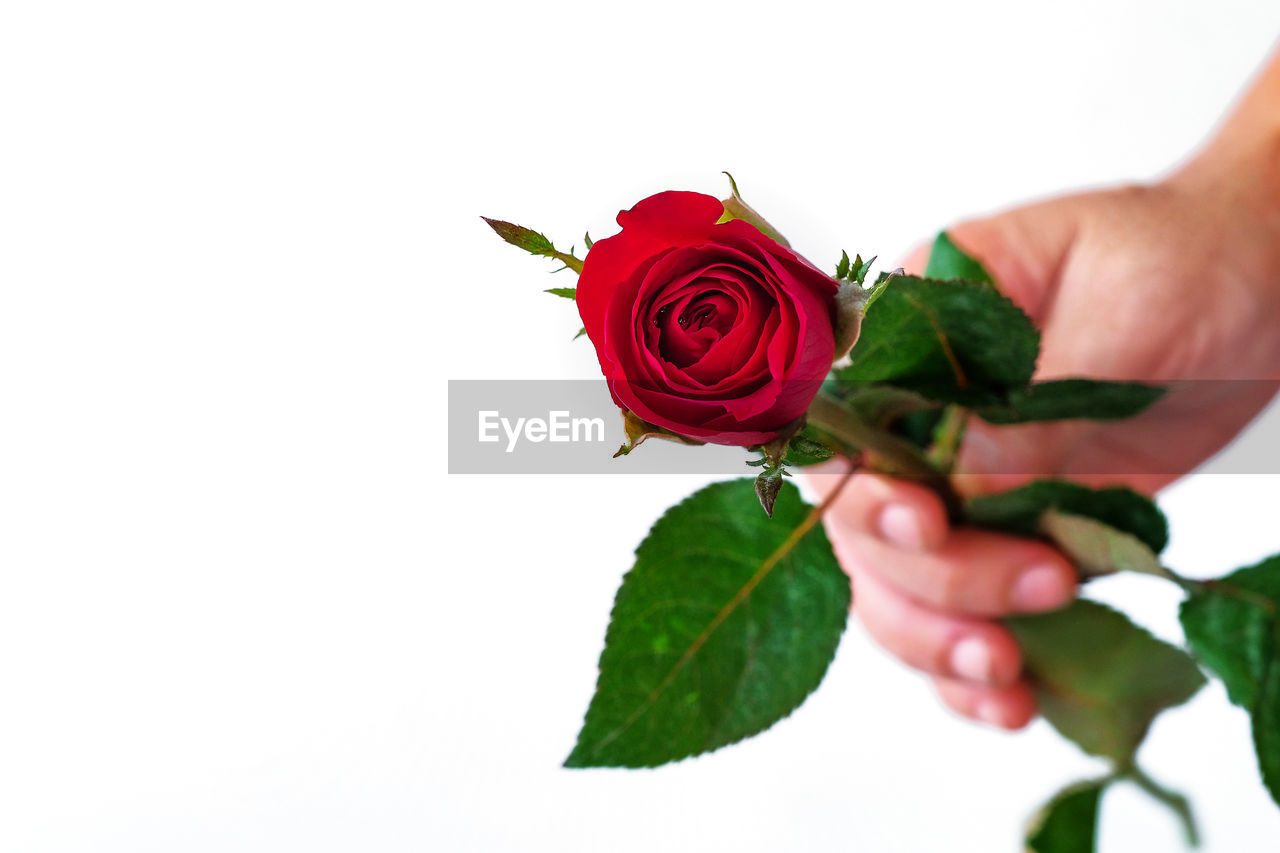 human hand, rose, rose - flower, hand, red, flower, plant part, leaf, beauty in nature, flowering plant, plant, human body part, freshness, one person, petal, fragility, vulnerability, holding, nature, white background, flower head, finger, flower arrangement, bouquet