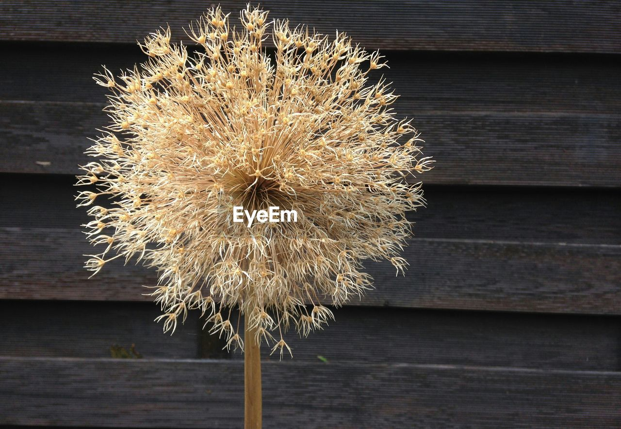 Close-up of dry flower against wooden wall