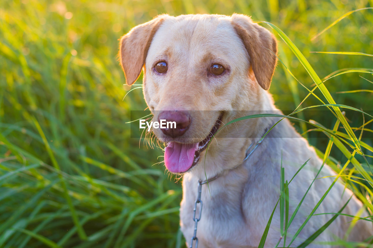 one animal, canine, domestic, dog, pets, mammal, animal, animal themes, domestic animals, vertebrate, plant, grass, looking at camera, close-up, day, portrait, no people, nature, focus on foreground, field, outdoors, animal head, weimaraner