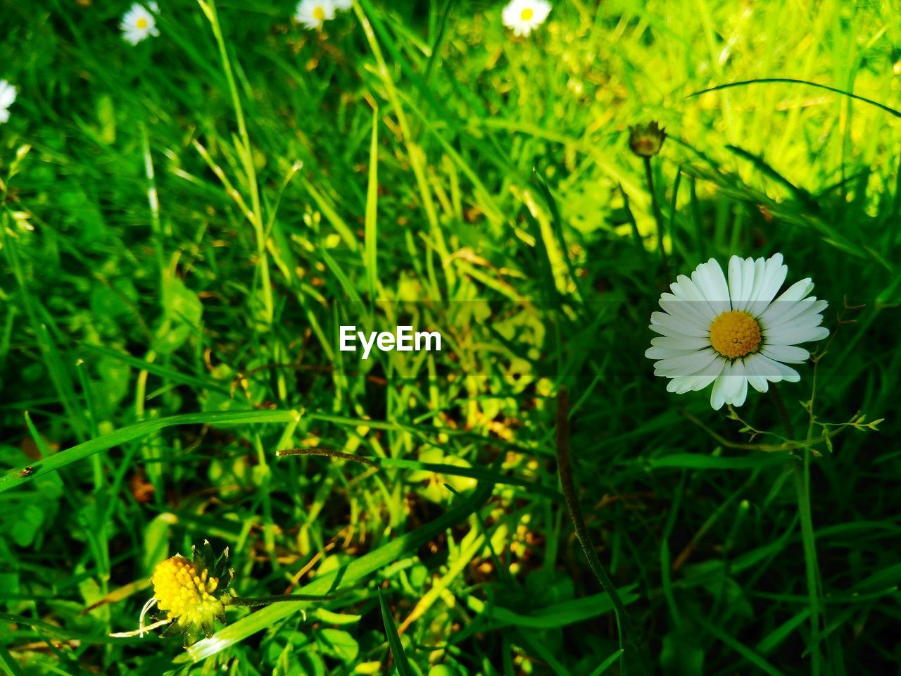 plant, flowering plant, flower, freshness, growth, beauty in nature, fragility, green color, vulnerability, petal, flower head, inflorescence, close-up, nature, field, no people, land, day, white color, selective focus, outdoors, pollen, blade of grass