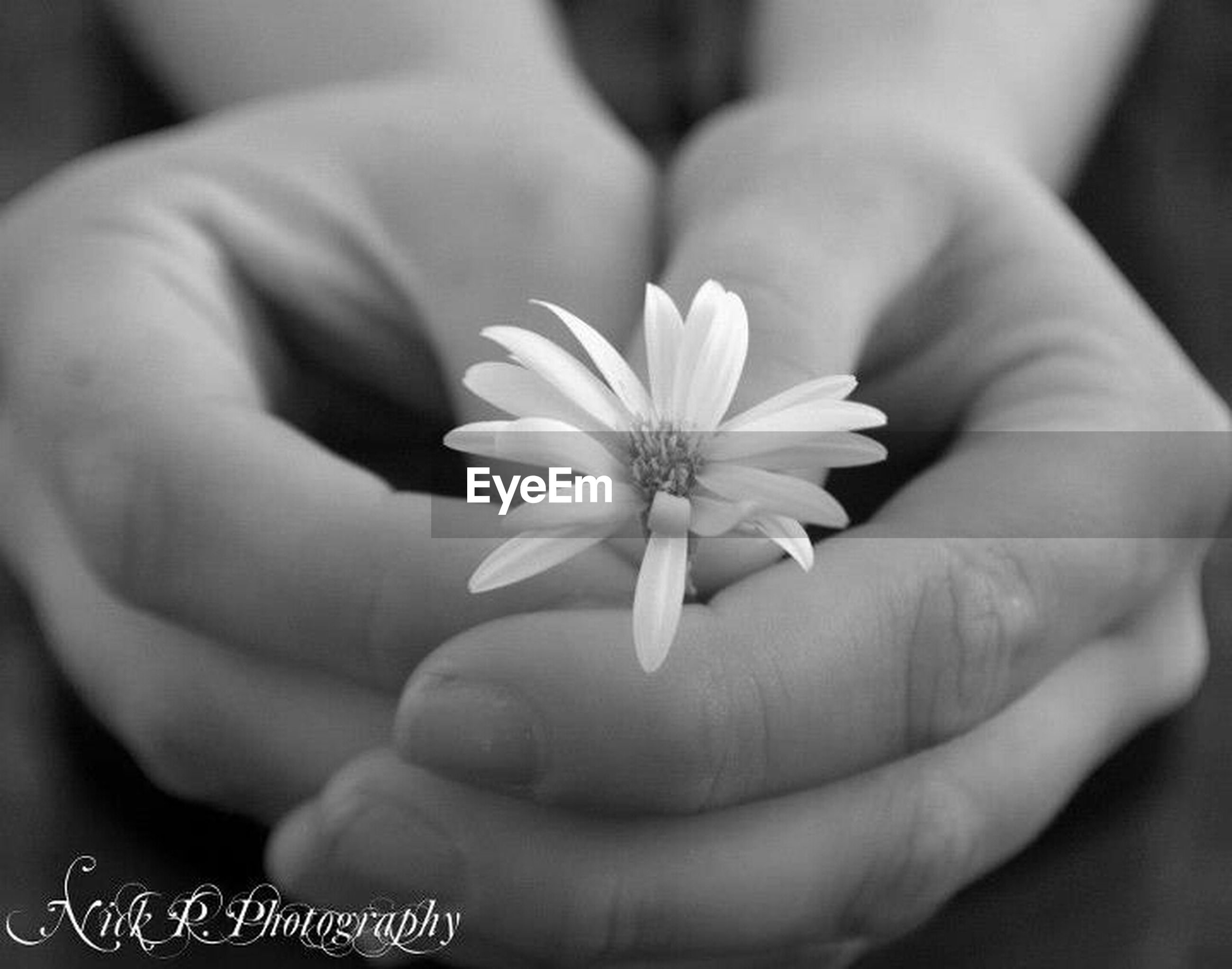flower, petal, person, fragility, flower head, freshness, holding, close-up, part of, single flower, beauty in nature, focus on foreground, human finger, cropped, pollen, white color, stamen
