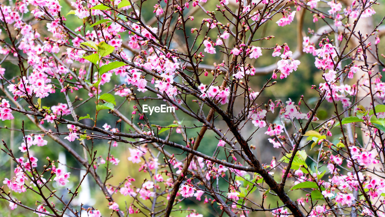 flower, growth, branch, pink color, beauty in nature, blossom, nature, springtime, tree, fragility, day, no people, freshness, petal, outdoors, twig, blooming, low angle view, backgrounds, close-up, flower head