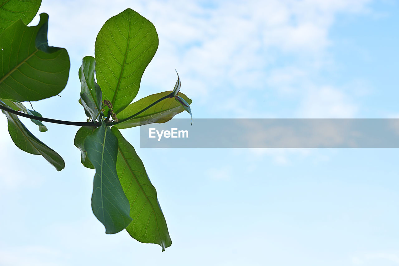 green color, sky, plant part, leaf, growth, plant, nature, freshness, no people, beauty in nature, low angle view, cloud - sky, flower, day, flowering plant, close-up, fragility, vulnerability, outdoors, flower head, leaves, sepal