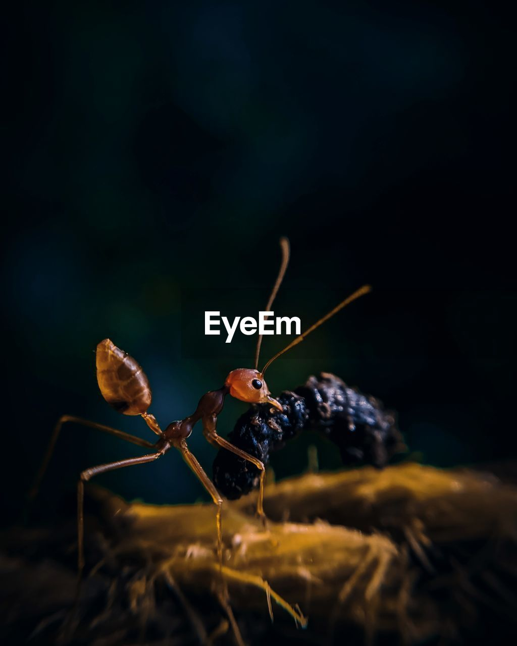 invertebrate, insect, close-up, animal themes, selective focus, animal wildlife, animal, animals in the wild, nature, one animal, plant, no people, day, focus on foreground, outdoors, ant, animal body part, zoology, brown