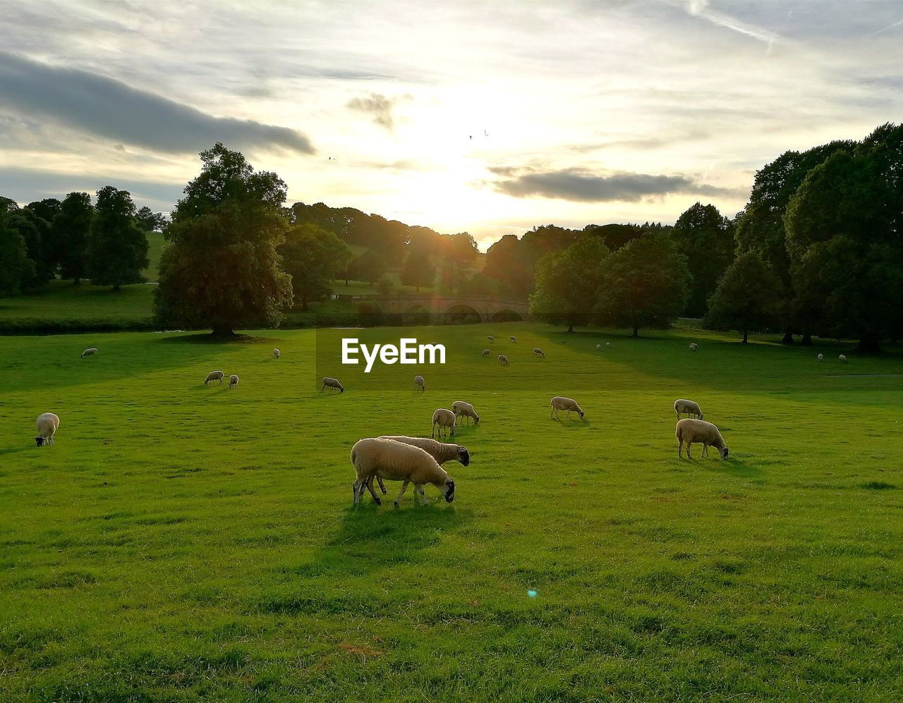 Sheep Grazing On Field Against Sky During Sunset