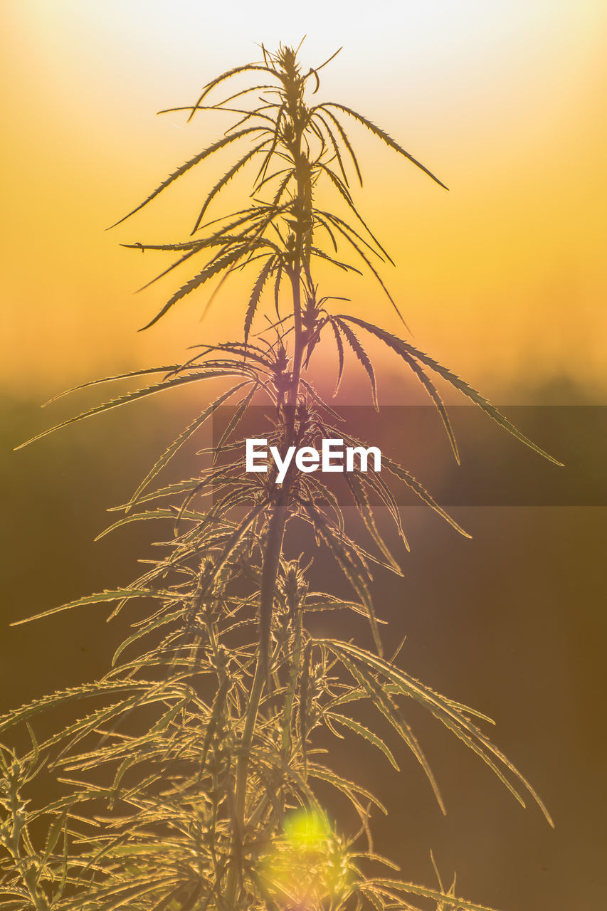 sunset, nature, sun, beauty in nature, outdoors, no people, tranquility, growth, tranquil scene, sky, low angle view, plant, scenics, silhouette, tree, close-up, clear sky, grass
