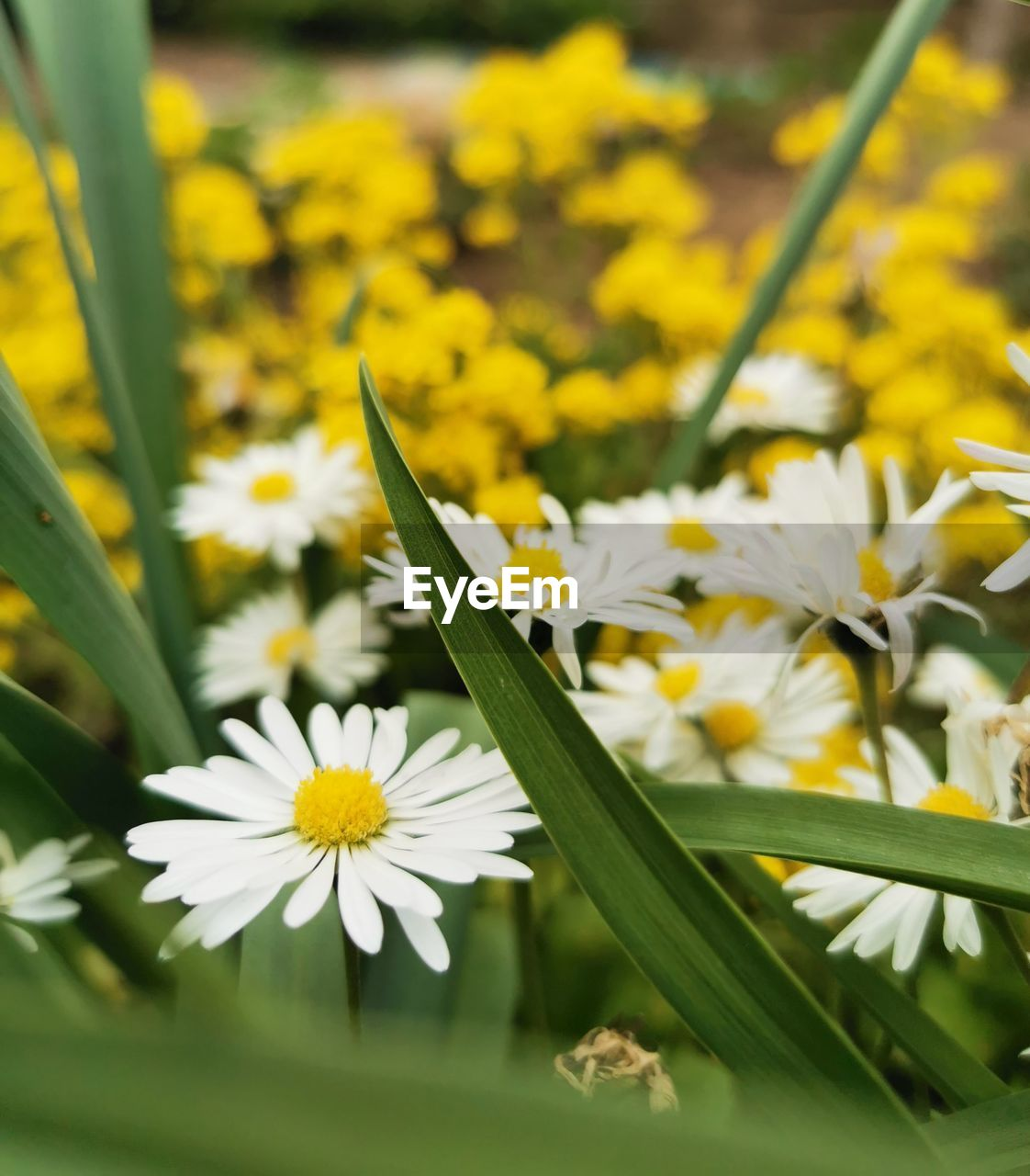 flowering plant, flower, plant, vulnerability, fragility, freshness, beauty in nature, growth, petal, close-up, yellow, flower head, inflorescence, nature, white color, selective focus, day, no people, focus on foreground, field, pollen