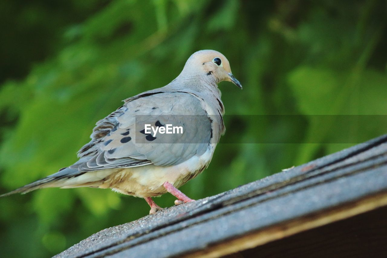 animal themes, bird, animal, animal wildlife, animals in the wild, vertebrate, one animal, perching, focus on foreground, no people, dove - bird, day, close-up, mourning dove, nature, outdoors, selective focus, railing, wood - material, zoology