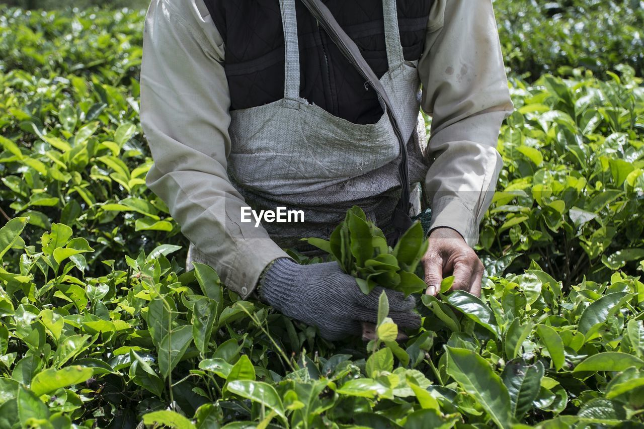 Midsection of farmer picking fresh tea leaves on farm