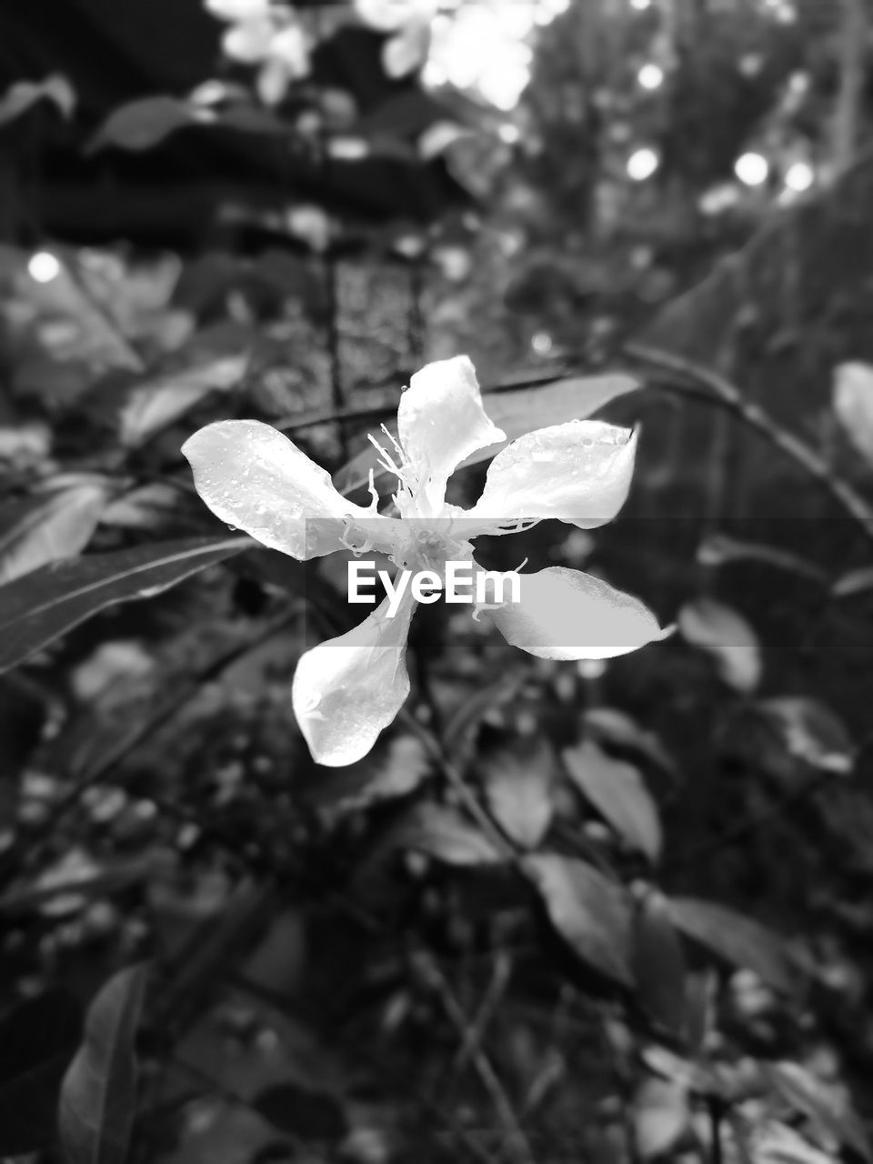 plant, growth, flowering plant, beauty in nature, flower, close-up, vulnerability, fragility, freshness, focus on foreground, petal, nature, inflorescence, no people, flower head, day, plant part, leaf, outdoors, white color