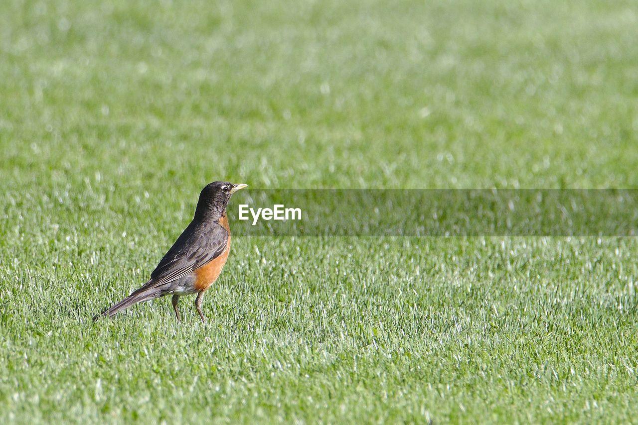 Close-up of bird on grassy field