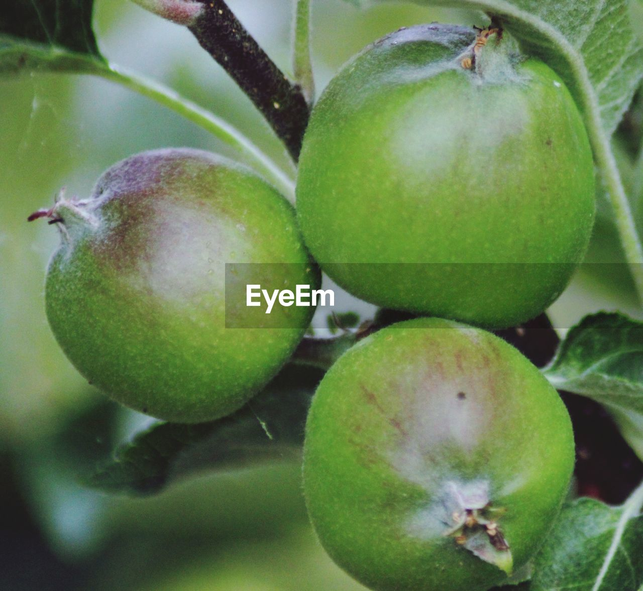 fruit, food and drink, food, healthy eating, green color, freshness, close-up, no people, growth, unripe, outdoors, day, apple - fruit, leaf, nature, tree