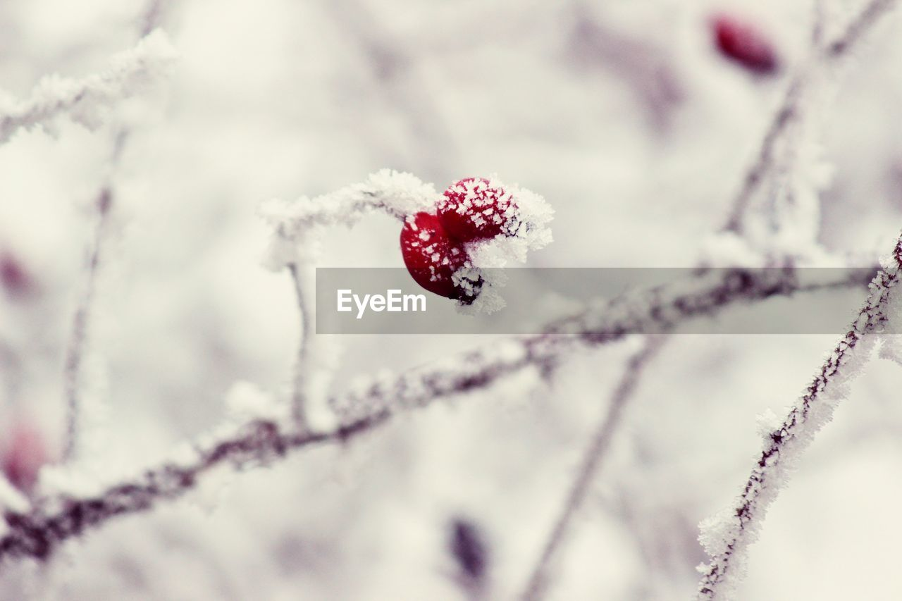 cold temperature, winter, snow, frozen, fruit, red, day, beauty in nature, close-up, healthy eating, food and drink, plant, selective focus, berry fruit, nature, food, focus on foreground, no people, ice, outdoors, extreme weather, blizzard