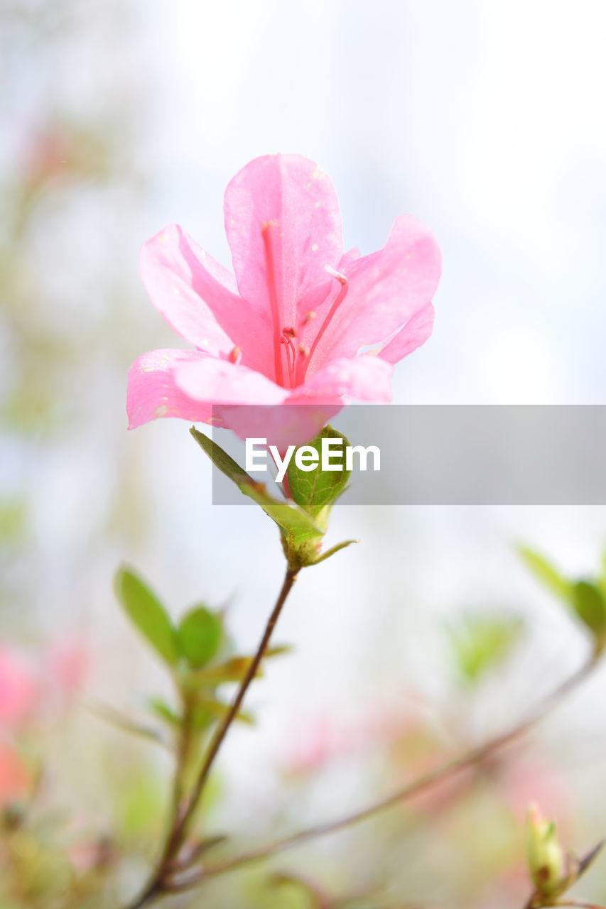 flower, pink color, nature, fragility, growth, petal, freshness, beauty in nature, plant, no people, flower head, close-up, day, outdoors, blooming