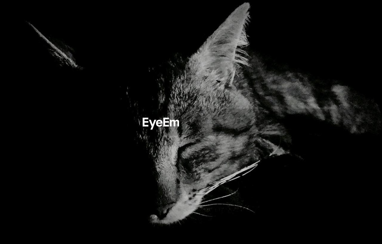one animal, animal themes, animal head, black background, no people, close-up, mammal, domestic animals, pets, night, indoors