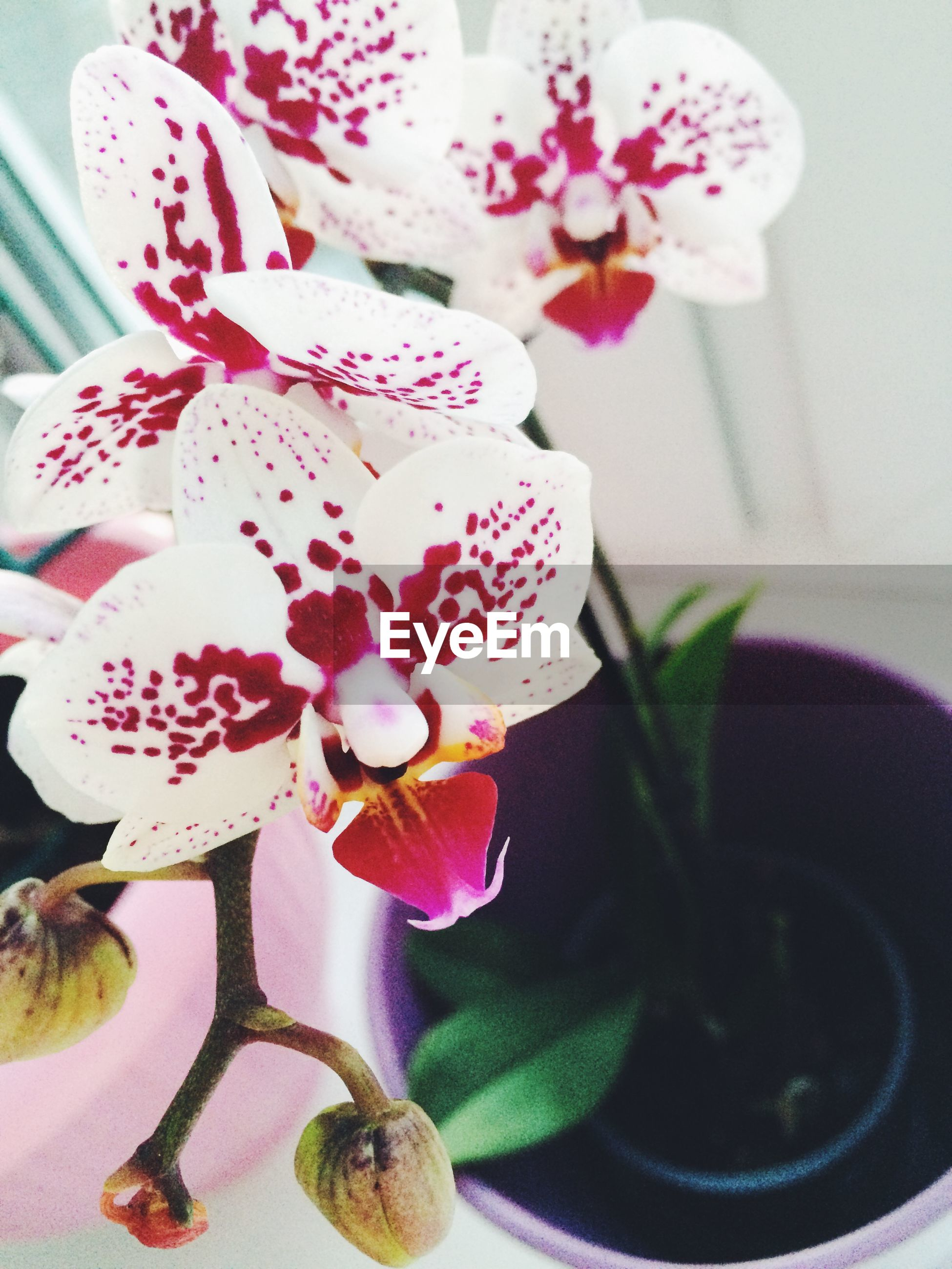 flower, petal, freshness, fragility, flower head, indoors, beauty in nature, growth, close-up, nature, orchid, pink color, plant, blooming, vase, white color, in bloom, focus on foreground, no people, blossom