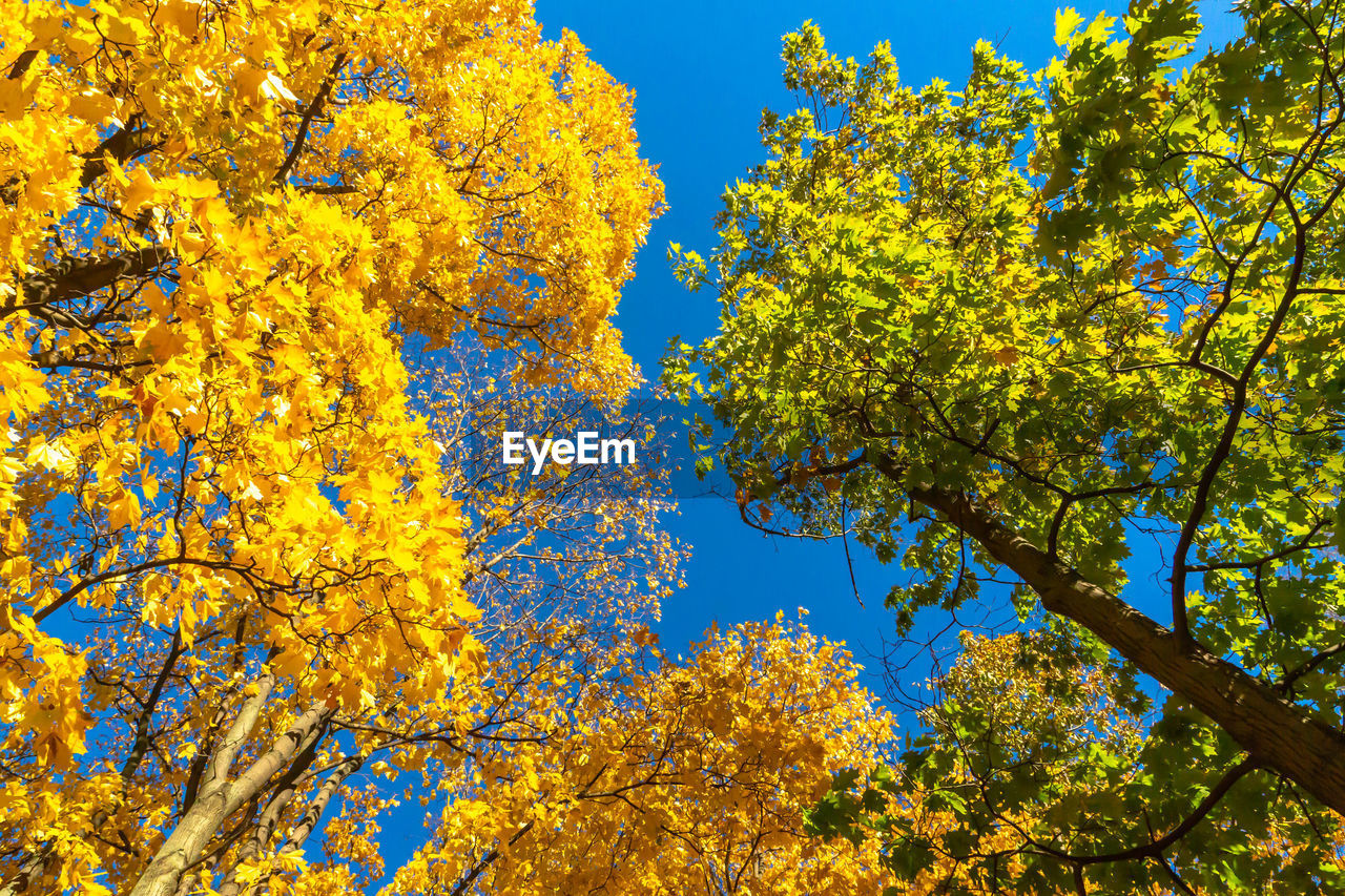 plant, tree, beauty in nature, low angle view, growth, yellow, flower, flowering plant, branch, sky, nature, no people, day, autumn, fragility, vulnerability, change, freshness, blue, outdoors