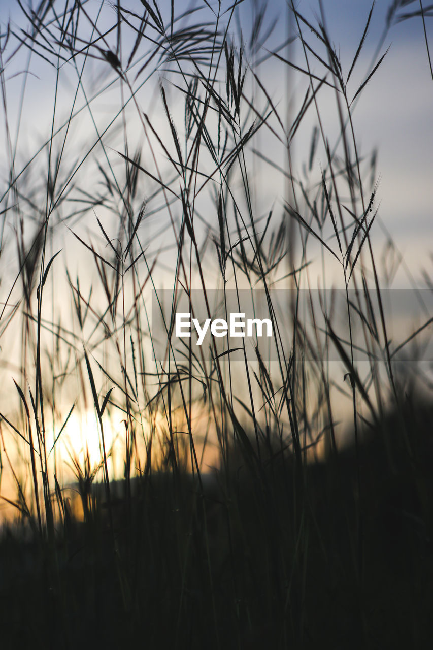 sky, plant, beauty in nature, growth, sunset, tranquility, nature, close-up, selective focus, no people, focus on foreground, grass, field, land, outdoors, silhouette, tranquil scene, scenics - nature, day, cloud - sky, timothy grass, blade of grass, stalk