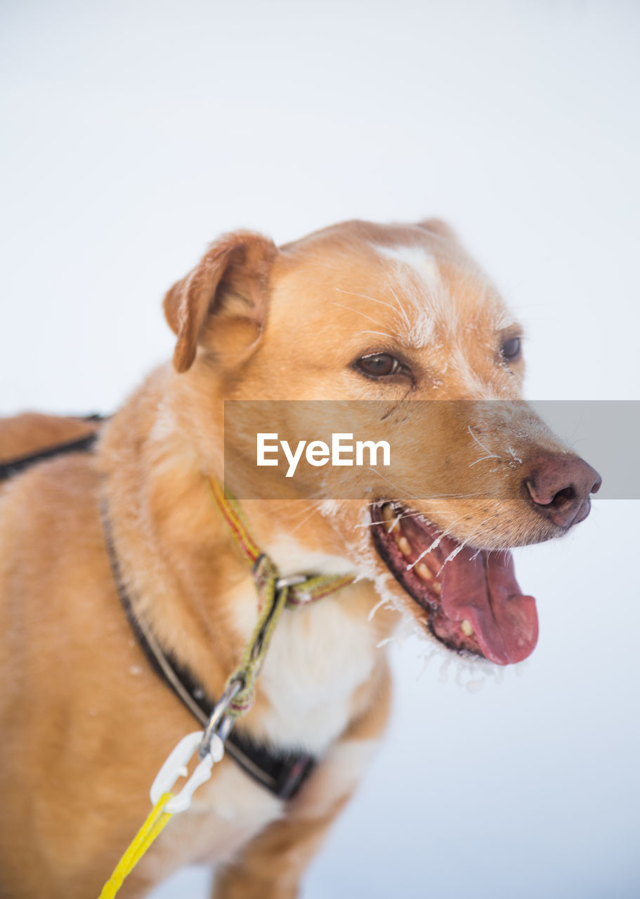 domestic, domestic animals, pets, canine, dog, mammal, one animal, animal themes, animal, vertebrate, looking, brown, looking away, pet collar, collar, close-up, no people, white background, focus on foreground, animal body part, animal head, mouth open