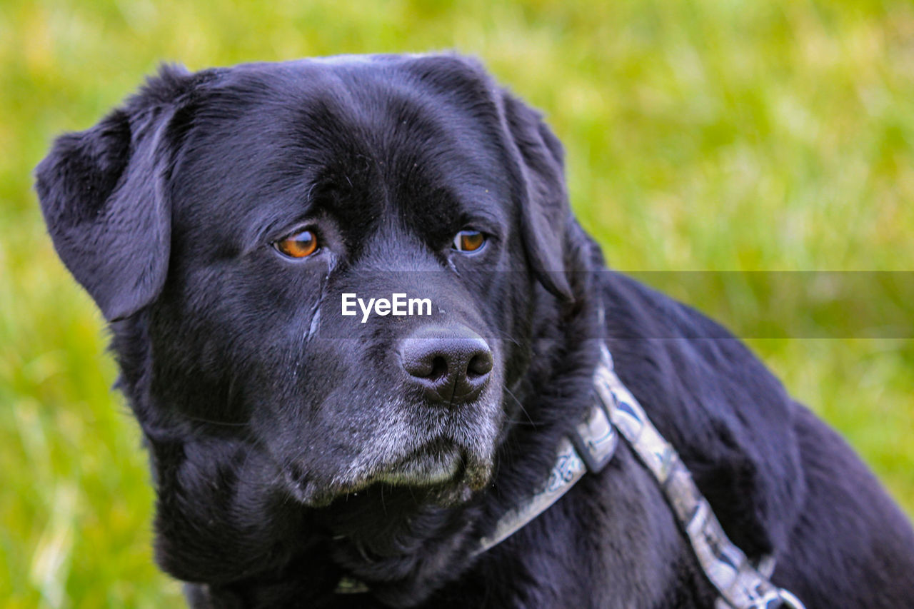 one animal, mammal, animal themes, dog, canine, pets, animal, domestic, domestic animals, vertebrate, black color, focus on foreground, close-up, portrait, looking at camera, looking, no people, field, day, land, animal head