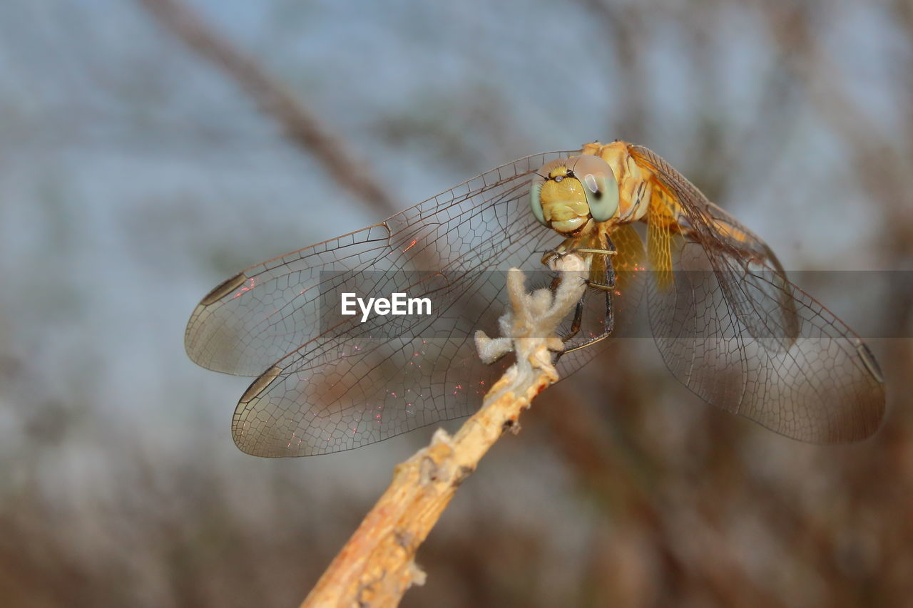 animals in the wild, invertebrate, animal wildlife, insect, animal themes, one animal, animal, animal wing, close-up, focus on foreground, dragonfly, day, plant, nature, no people, outdoors, twig, zoology, beauty in nature, tree