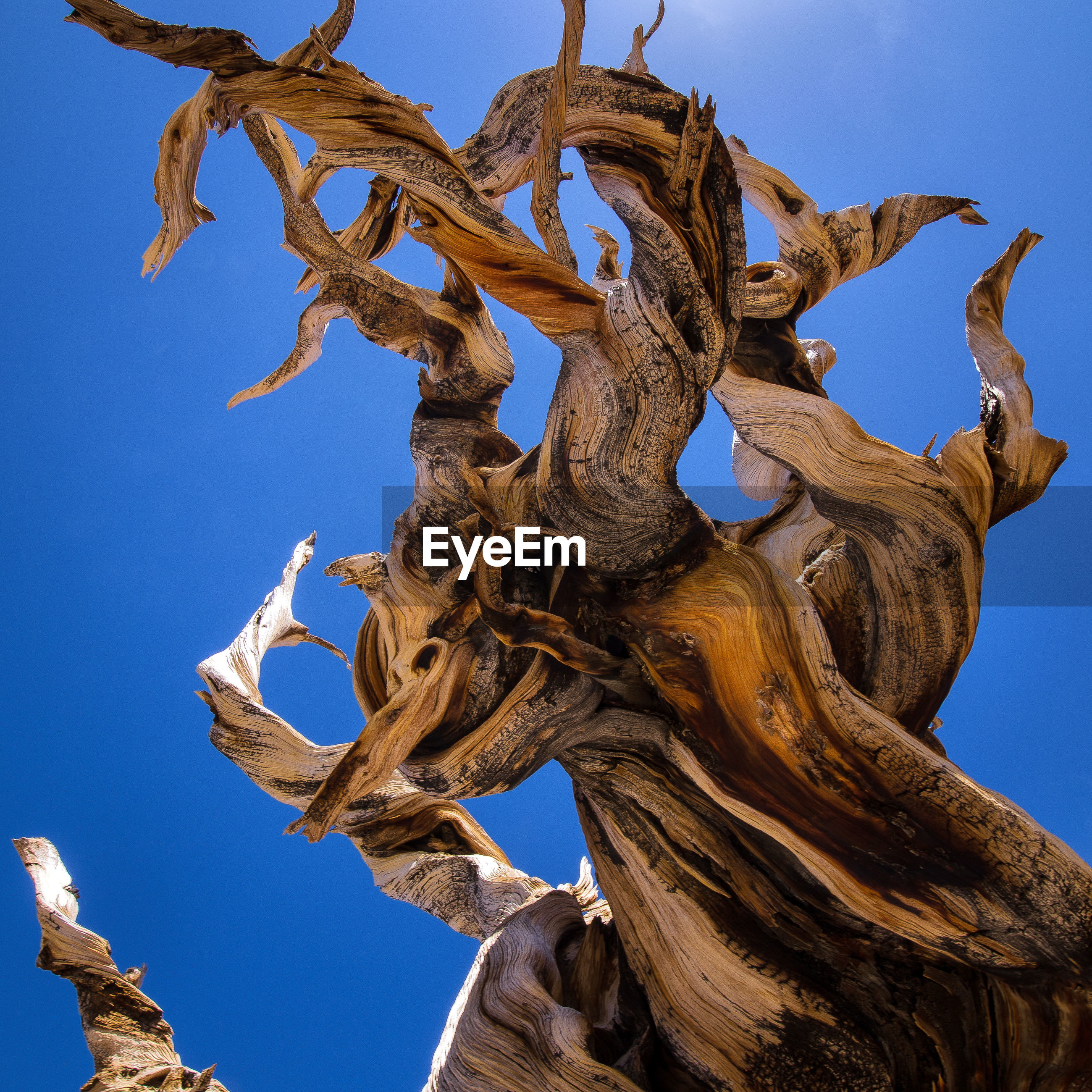 Close-up of bristlecone pine against clear blue sky