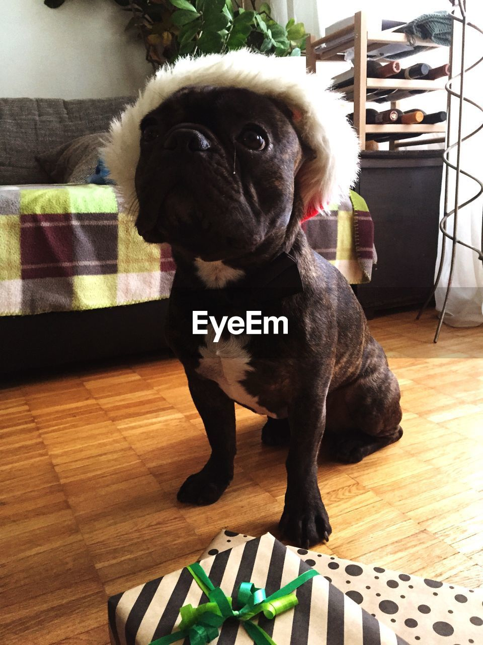 French Bulldog Wearing Fur Hat Sitting On Floor At Home