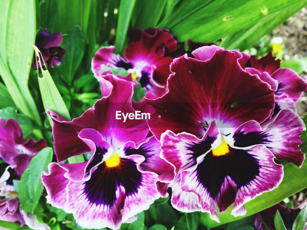 flower, petal, beauty in nature, purple, nature, fragility, growth, plant, flower head, blooming, freshness, no people, outdoors, close-up, day, iris - plant, petunia