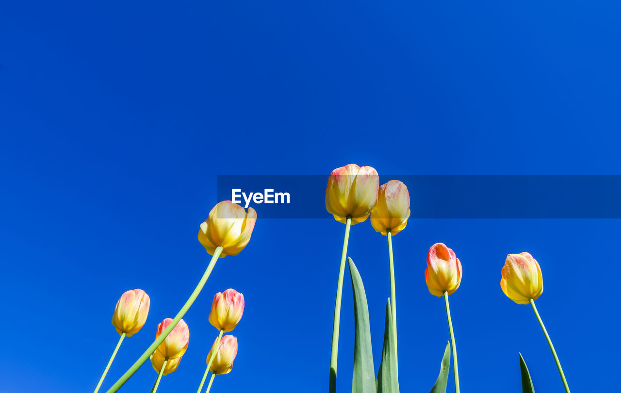 blue, flower, beauty in nature, plant, fragility, vulnerability, flowering plant, freshness, sky, copy space, nature, growth, low angle view, close-up, clear sky, no people, plant stem, yellow, petal, colored background, blue background, outdoors, flower head