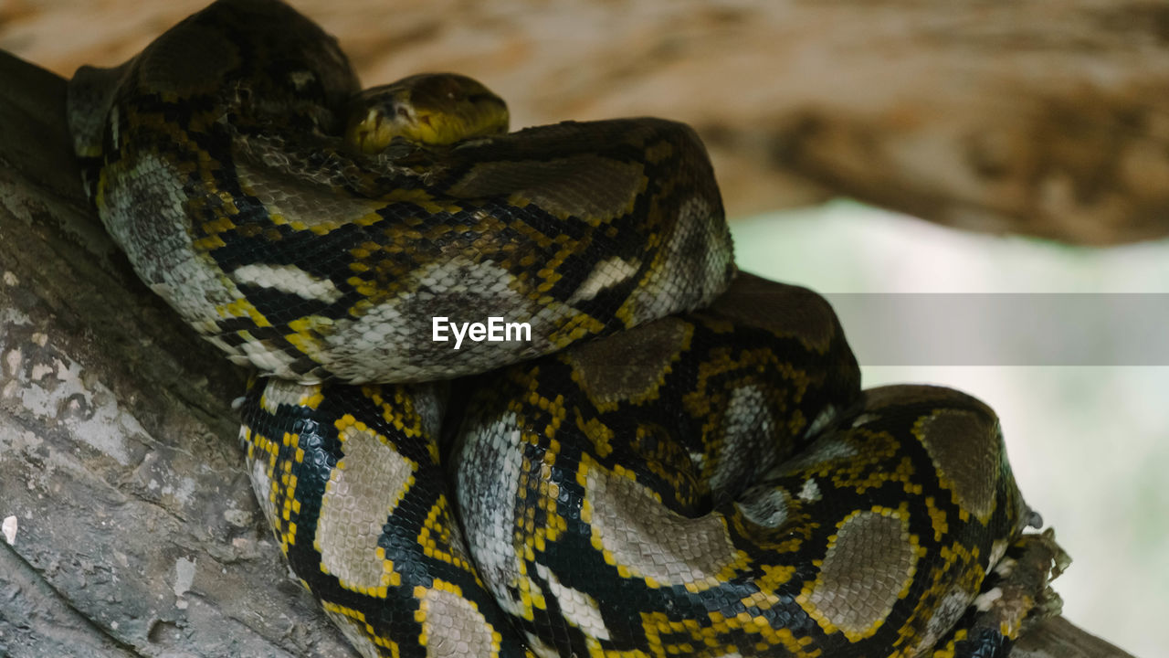 animal themes, animals in the wild, reptile, animal wildlife, animal, one animal, vertebrate, snake, close-up, no people, focus on foreground, nature, animal markings, animal body part, day, tree, outdoors, zoo, animal scale, poisonous, animal head