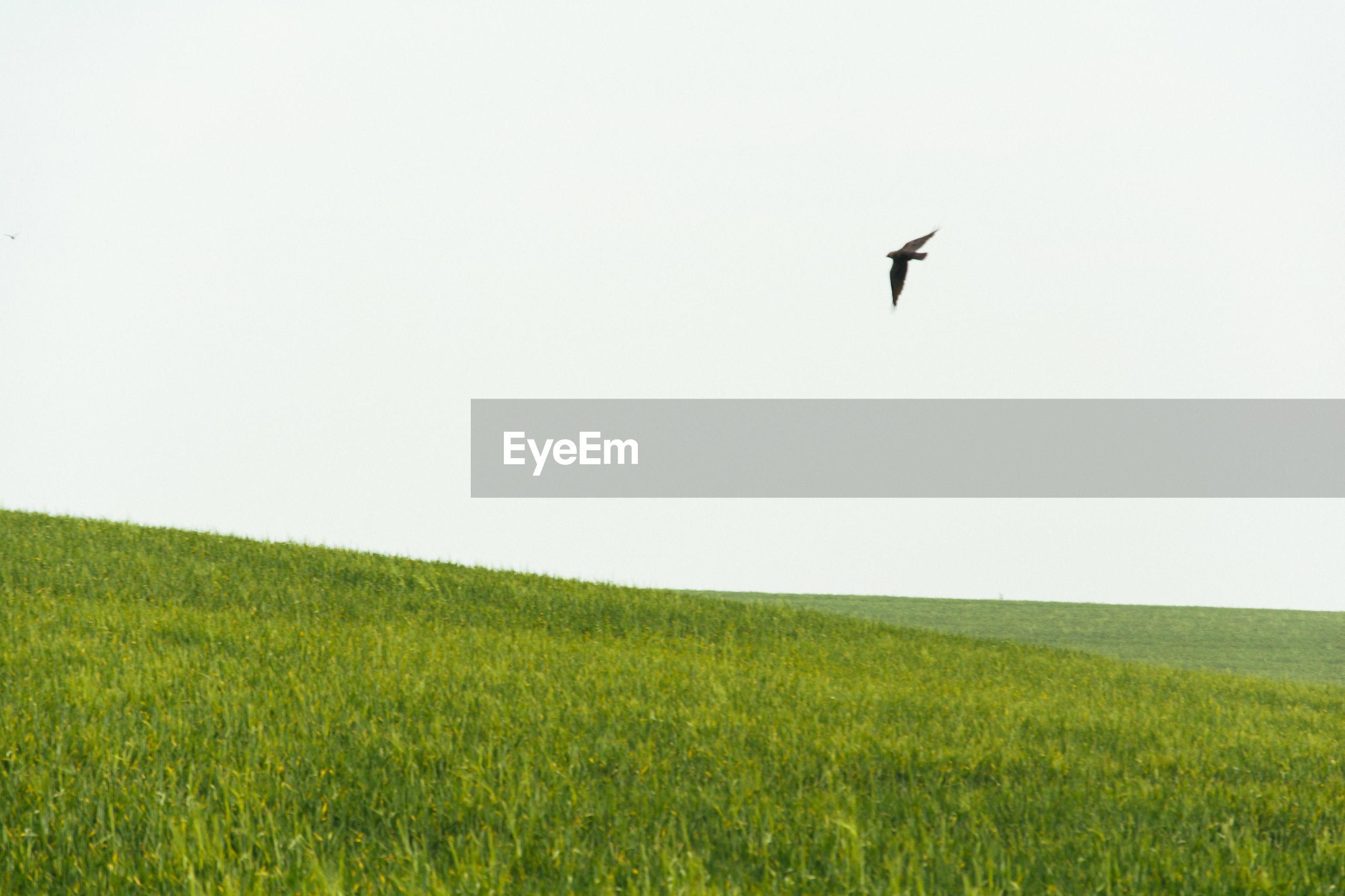 Bird flying over landscape against clear sky