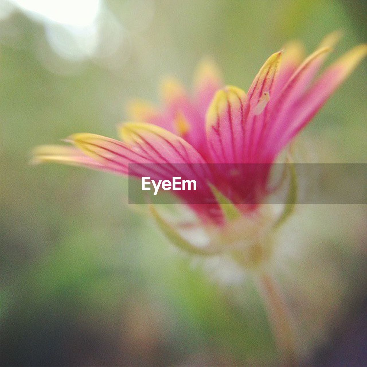 flower, fragility, petal, freshness, nature, growth, beauty in nature, close-up, flower head, plant, pink color, day, focus on foreground, no people, outdoors, blooming