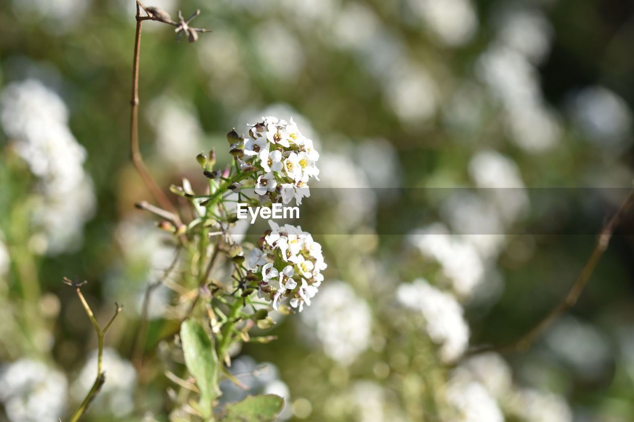 flowering plant, flower, plant, growth, freshness, beauty in nature, fragility, vulnerability, close-up, no people, white color, day, nature, focus on foreground, petal, flower head, selective focus, inflorescence, plant stem, botany, outdoors, springtime