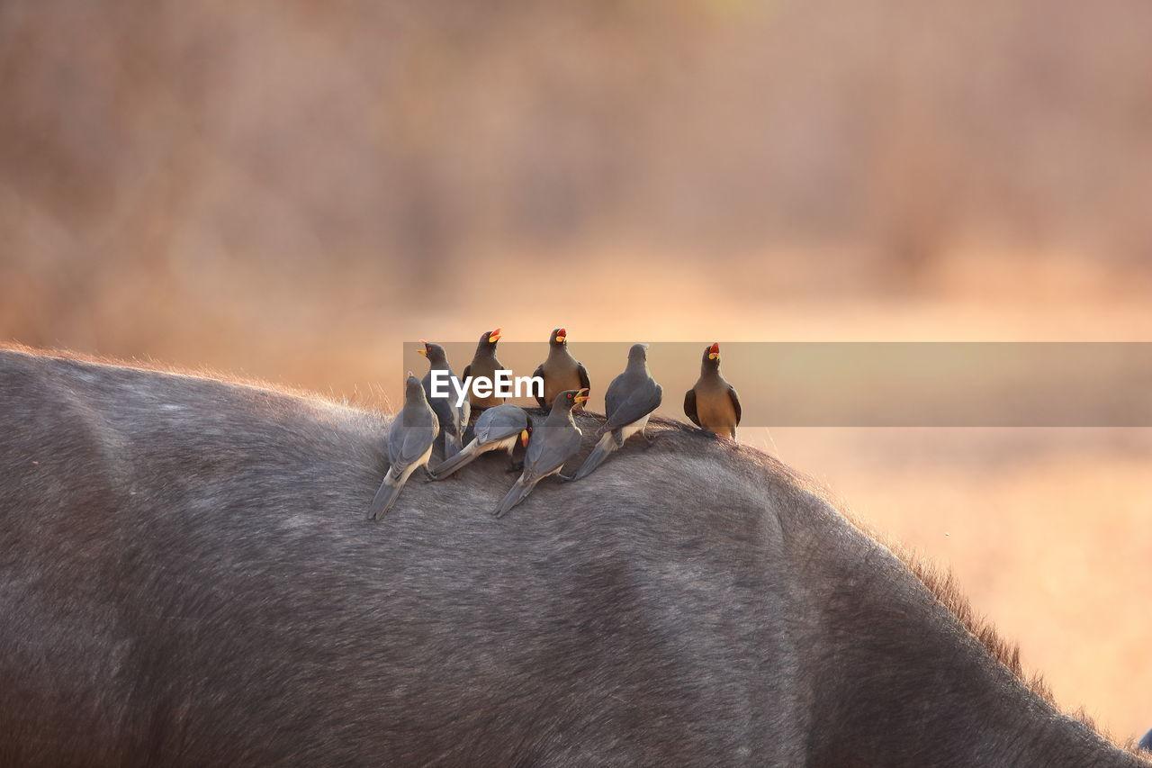 Oxpeckers On Back Of Buffalo