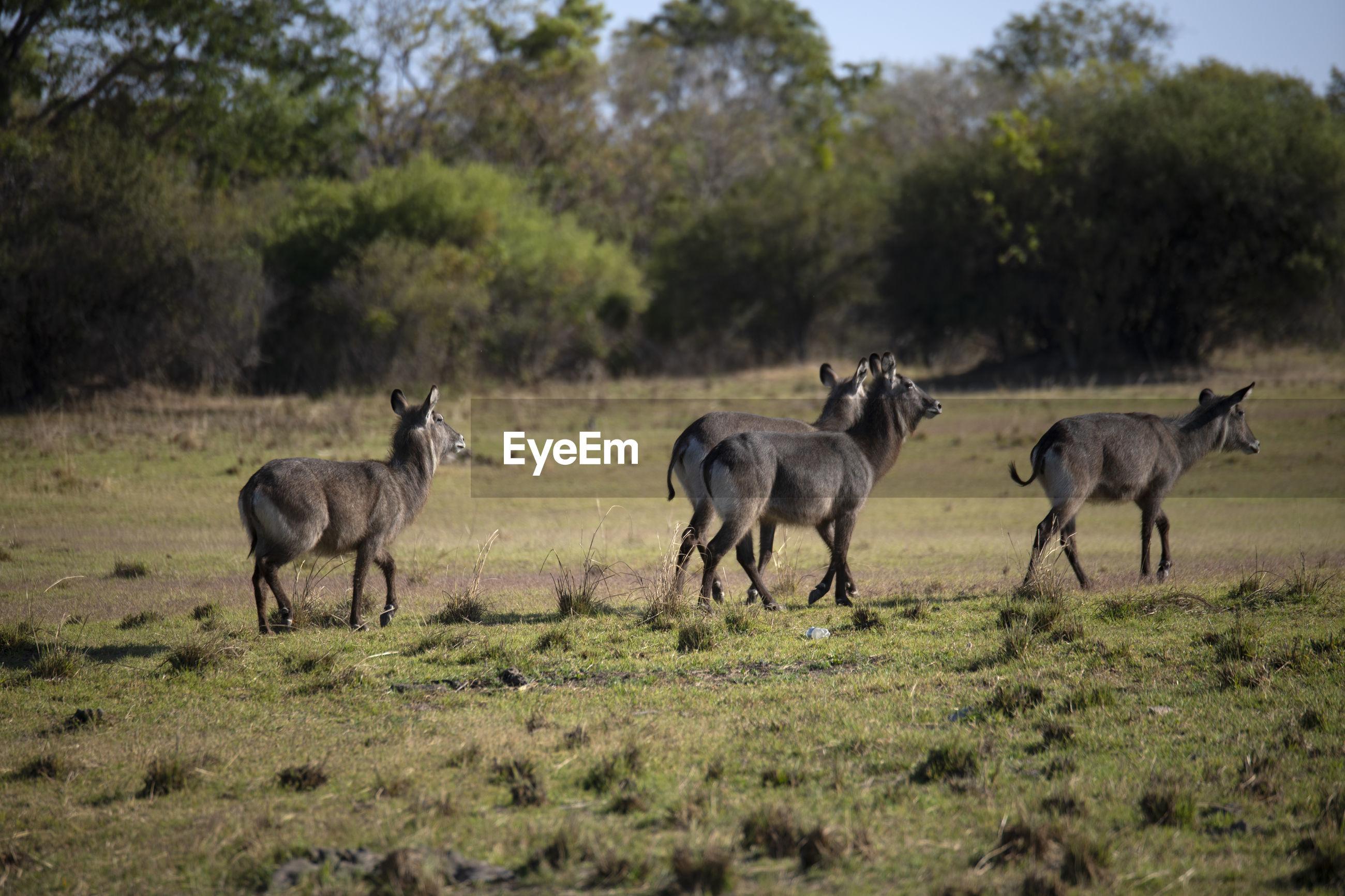 Waterbucks standing in a field
