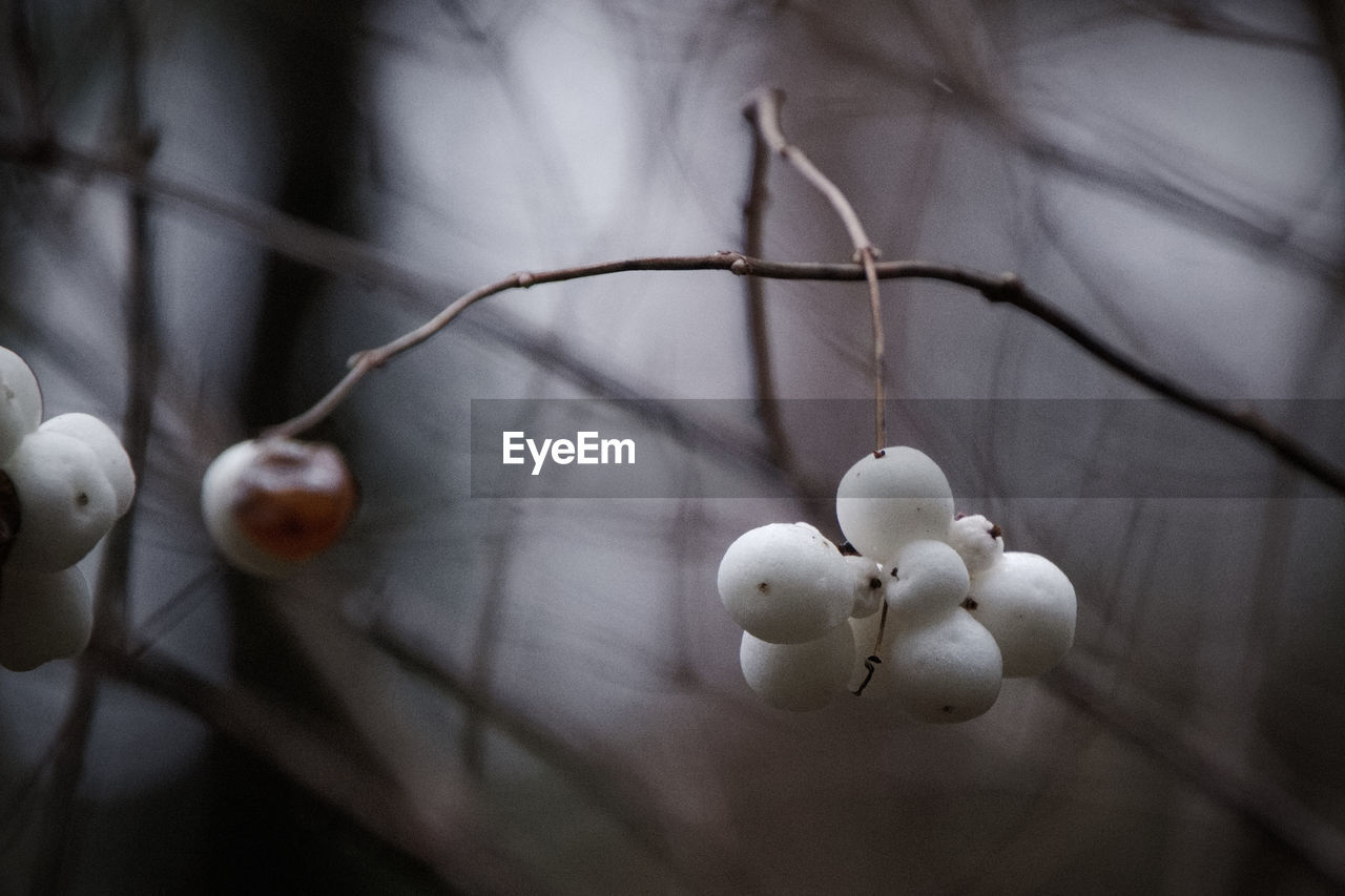 food and drink, close-up, food, healthy eating, focus on foreground, plant, no people, twig, freshness, fruit, growth, branch, tree, hanging, day, selective focus, nature, wellbeing, plant stem, outdoors, ripe