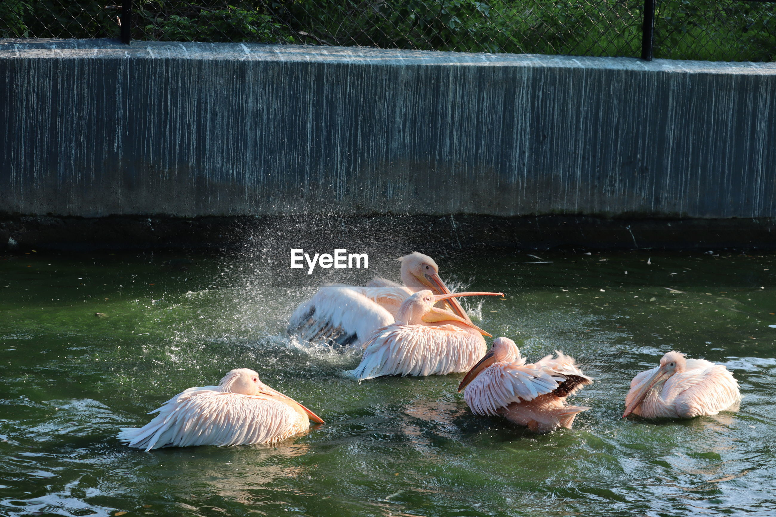 The great white pelican pelecanus onocrotalusaka the white pelican, rosy pelican or white pelican