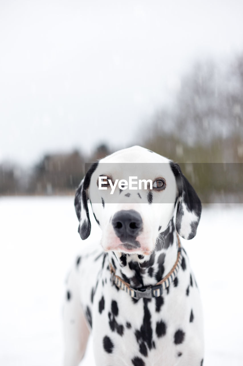 dog, canine, one animal, dalmatian dog, animal themes, pets, domestic animals, domestic, animal, focus on foreground, spotted, mammal, vertebrate, portrait, snow, looking at camera, no people, white color, winter, outdoors, purebred dog