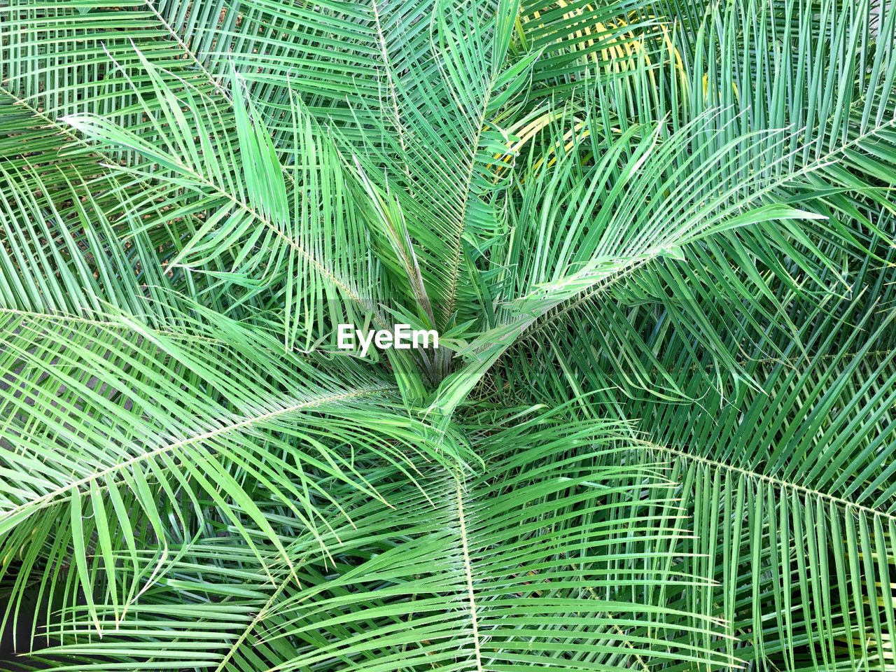 green color, leaf, backgrounds, full frame, plant part, growth, plant, beauty in nature, close-up, no people, nature, palm leaf, palm tree, day, frond, natural pattern, fern, tree, outdoors, pattern